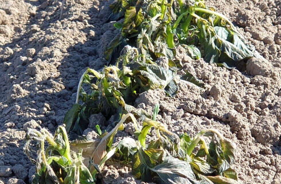 CAMPANIA – FREDDO E GELATE: DANNI AL SETTORE AGRICOLO. ALLARME DI FEDERAGRONOMI